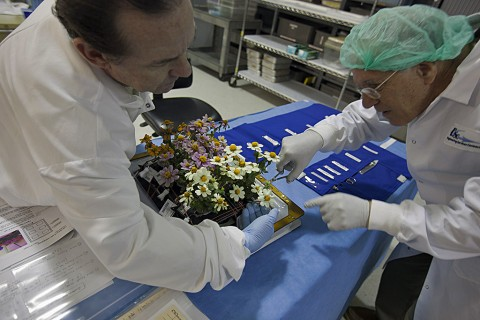 Zinnia plants from the Veggie ground control system are being harvested in the Flight Equipment Development Laboratory in the Space Station Processing Facility at NASA's Kennedy Space Center in Florida. From left, are John Carver, an integration engineer with Jacobs on the Test and Operations Support Contract, and Chuck Spern, a project engineer with Vencore on the Engineering Services Contract.(NASA/Bill White)