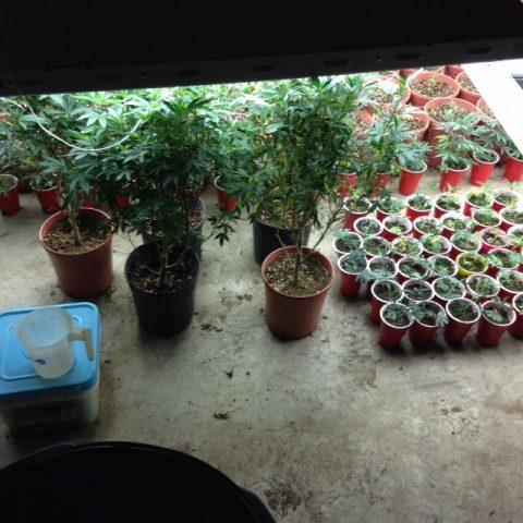 Marijuana plants found in Lewis County.