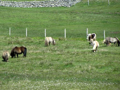 Shetland ponies. (Sean Hogan)