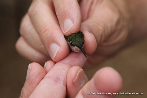 A hummingbird that has been banded and is ready for release.