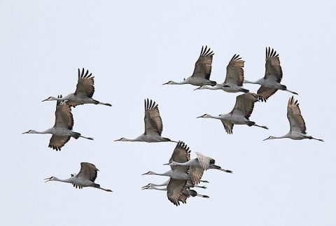 Sandhill Crane Hunt Permit Drawing to be held August 13th.