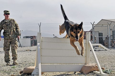 U.S. Army Sgt. Ethan Taylor takes his military working dog Alex through some obstacle course drills. Taylor and Alex are assigned to the U.S. Forces Afghanistan Military Working Dog Detachment. Alex is a six-year-old male German Shepherd. Both Taylor and Alex deployed from Fort Drum, N.Y. (Bob Harrison, U.S. Forces Afghanistan Public Affairs)