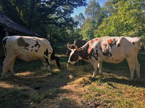 The Homeplace 1850s Farm located in the Tennessee portion of Land Between The Lakes (LBL) provides a glimpse of life in the mid-19th century. Come out and enjoy life on the farm and meet the oxen while your here. (Janice Wilson)
