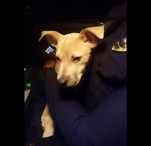 4 to 5-month-old puppy Clarksville Police Officers found roaming in the cold weather.