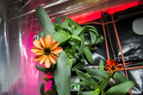 The first blooming zinnia flower in the Veggie plant growth system aboard the International Space Station. Growing food in space is one of the challenges humans will have to face before attempting interstellar travel. (NASA)