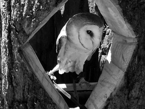 Nature Station's Barn Owl in its hideaway. (Land Between the Lakes staff)