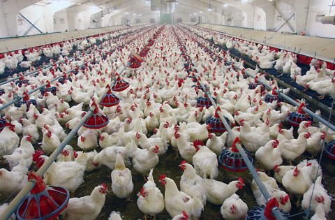 Chicken Farm in Giles County Tennessee tests positive for Low Pathogenic Avian Influenza.