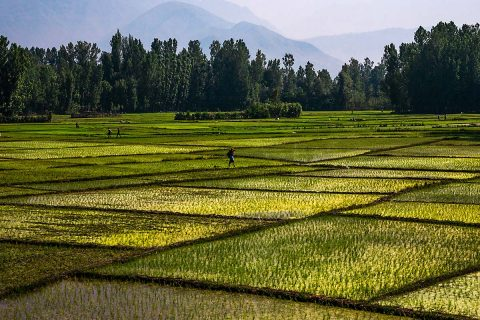 Rice paddy fields in India. Agriculture is one source of global methane emissions. (Flickr user sandeepachetan.com travel (CC BY-NC-ND 2.0))