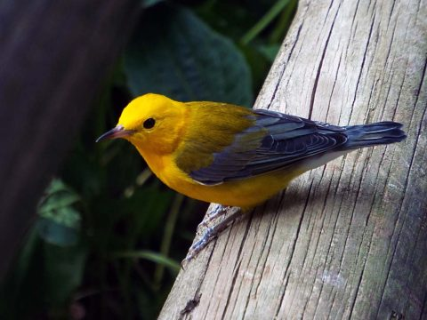 Prothonatry Warbler photo taken at Woodlands Nature Station. (Brooke Gilley)