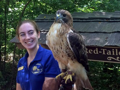The red-tailed hawk can be seen daily at Woodlands Nature Station in Land Between The Lakes. (Staff photo)