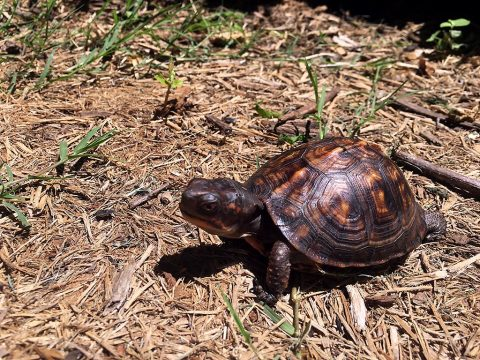 Eastern Box Turtle at Woodlands Nature Station in Land Between The Lakes. The box turtle is often seen crossing roadways. When it can be done safely, the turtle always appreciates a good samaritan getting it safely across the road in the direction it was going. (Emily Cleaver)
