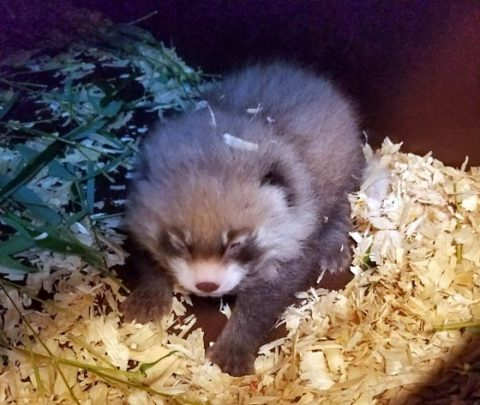 Second Red Panda born at Nashville Zoo. (Jennifer Wu, Carnivore Keeper)