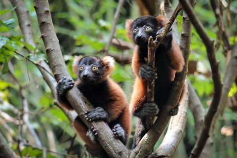 Red Ruffed Lemur Family Now on Exhibit at Nashville Zoo. (Kelsey White)