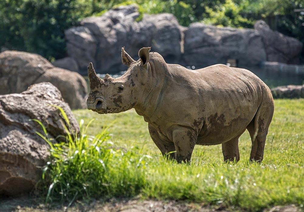 Southern White Rhinos at the Nashville Zoo. (Amiee Stubbs)