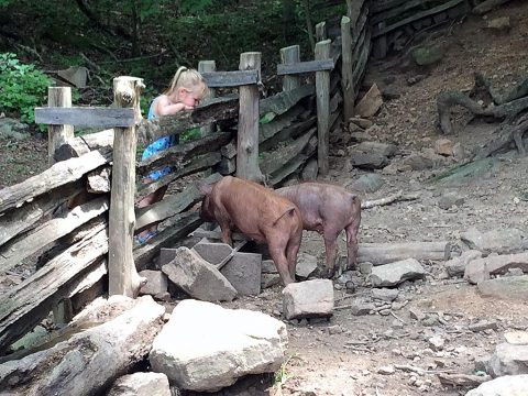 Land Between the Lakes Homeplace Animals July 2016. Tamworth pigs, a heritage breed at the Homeplace. (Forest Service Staff)