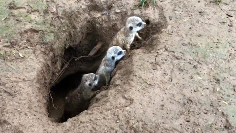 Meerkat Pups born at Nashville Zoo. (Rachel Schleicher)