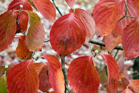 A Dog Wood in Autumn.