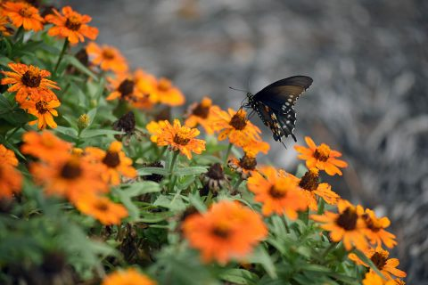 A butterfly visits the pollinator garden at Cheatham Lake in Ashland City, Tennessee, September 30th, 2017. Volunteer gardeners are needed to join the team responsible for developing, maintaining and improving the garden, working toward certification as a Monarch Waystation at the U.S. Army Corps of Engineers Nashville District project. (Leon Roberts)