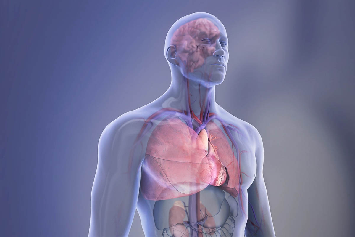 Organs In The Body Transparent Illustration Brain Right Lung