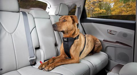 Survey examines habits of people driving with canine companions and potential distractions. (AAA)