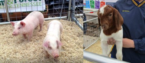 Baby pigs and a baby goat—celebrate Ag Day on the Hill.