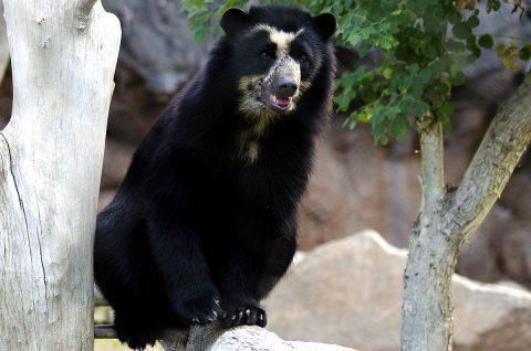 Andean Bear. (Phoenix Zoo)