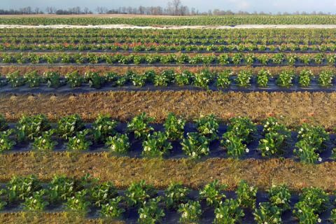 Tennessee strawberry growers cover planets to protect them from cold temperatures.