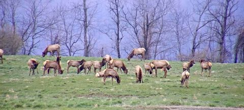 Tennessee Wildlife Resources Agency's Elk Cam Wide Shot. (TWRA)