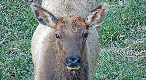Tennessee Wildlife Resources Agency's Elk Cam close up shot. (TWRA)