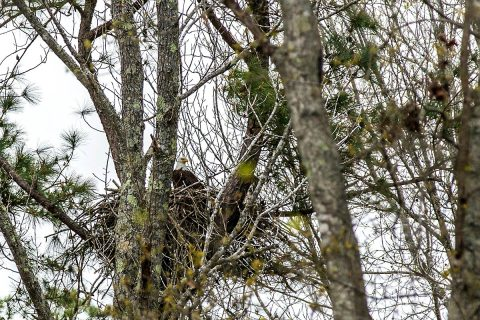 A bald eagle sits on its nest at Fort Campbell, April 18. The Bald Eagle was made the national symbol of the United States in 1782. Acting as the 101st Airborne Division mascot and as Americas' mascot. (Spc. Patrick Kirby, 40th Public Affairs Detachment)