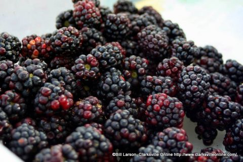 Blackberries grown in Tennessee are available at the Montgomery County Farmer's Market or you can pick your own.