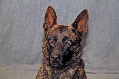 "Clarksville Police Department K9 ""Main"" passed away June 2nd."