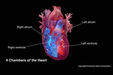 4 chambers of the heart: right atrium, right ventricle, left atrium, left ventricle. (American Heart Association)