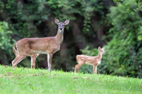 A fawn stands near its mother Monday on Fort Campbell. A doe will leave its fawn in a safe space while it forages for food. On Fort Campbell that safe space is often in or near residential areas. (Sgt. Patrick Kirby, 40th Public Affairs Detachment)