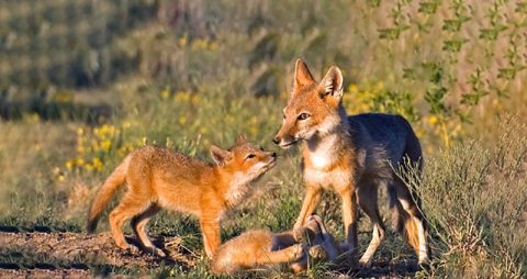 Scientists estimate that one third of all U.S. wildlife species are already imperiled or are vulnerable. Habitat loss, invasive species, and severe weather have all taken a severe toll on birds, mammals, fish, amphibians, reptiles, butterflies, and bees. All types of wildlife are declining—in many cases dramatically. We need urgent action to protect vulnerable wildlife. The Recovering America's Wildlife Act is the solution we need.