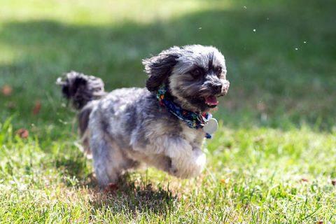 Yahtzee chases a ball.