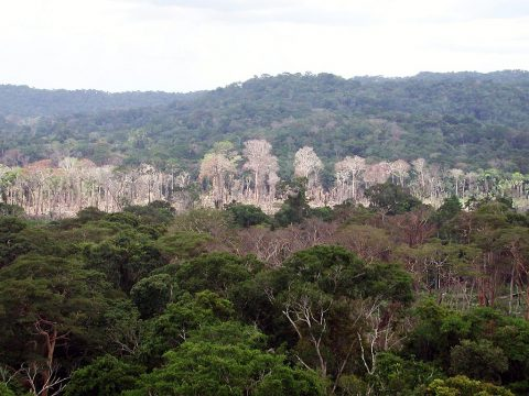 This image, taken during a September 2010 drought, shows a line of dead and damaged trees after a surface fire in the Amazon rainforest in western Brazil. When dryer-than-normal conditions exist, fires from the open edges encroach on the forests and burn dry and stressed trees. Under normal conditions, when the rainforests are wetter, this is far less common. (NASA/JPL-Caltech)