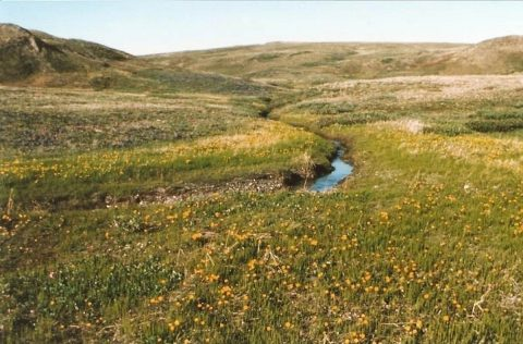 Image shows vegetation in Qikiqtaruk-Herschel Island Territorial Park in the Yukon in 1987, as provided by Arctic ecologist Isla Myers-Smith. (Isla Myers-Smith/University of Edinburgh)