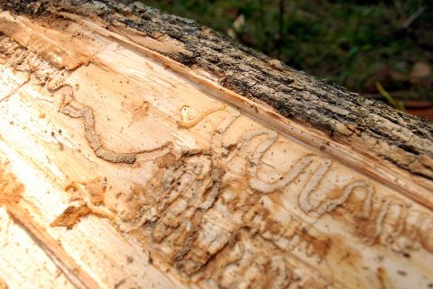 Cheatham County, Giles County, and Maury County now added to Tennessee and Federal Emerald Ash Borer (EAB) quarantine.