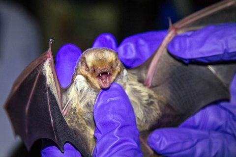 Morgan Torres, wildlife biologist, Fort Campbell Fish and Wildlife holds a female red bat on Fort Campbell, KY, July 18th, 2018. Eastern Red Bats are forrest dwelling bats and forage for insects at night. (Sgt. Patrick Kirby, 40th Public Affairs Detachment)