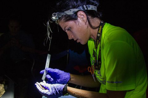 Morgan Torres, wildlife biologist, Fort Campbell Fish and Wildlife measures a female red bat on Fort Campbell, KY, July 18th, 2018. A compliance survey, under the endangered species act is done whenever a tree larger than three inches in diameter is removed. (Sgt. Patrick Kirby, 40th Public Affairs Detachment)