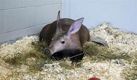 Winsol, the aardvark, now calls Nashville home. (Nashville Zoo)