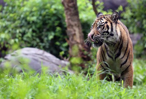 Three Sumatran tigers born are heading to their new home at the Nashville Zoo. (Amy Burgess, Nashville Zoo)