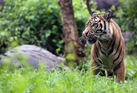 Three Sumatran tigers born are heading to their new home at the Nashville Zoo. (Amy Burgess, Nashville Zoo)