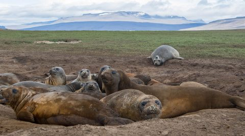 Female elephant seals basking, with a tagged seal in the background. (Sorbonne University/Etienne Pauthenet)