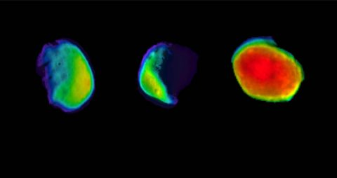These three views of the Martian moon Phobos were taken by NASA's 2001 Mars Odyssey orbiter using its infrared camera, THEMIS. Each color represents a different temperature range. (NASA/JPL-Caltech/ASU/SSI)