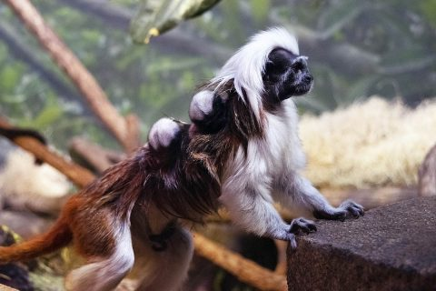 Tamarin Twins born at the Nashville Zoo. (Kate Sarber)