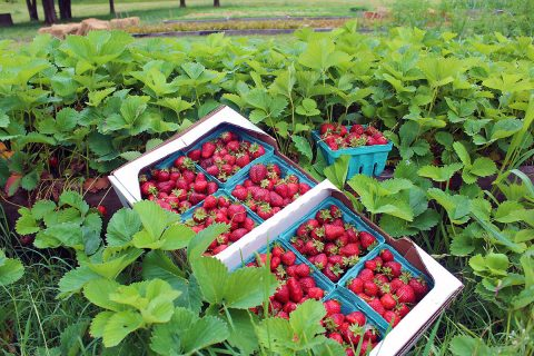 Pick Your Own Tennessee Strawberries.
