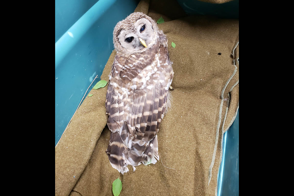 The Owl rescued by Clarksville Police Captain Scott Thornton.