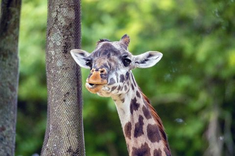 Nashville Zoo Mourns The Loss of Masai Giraffe. (Casey Gower)